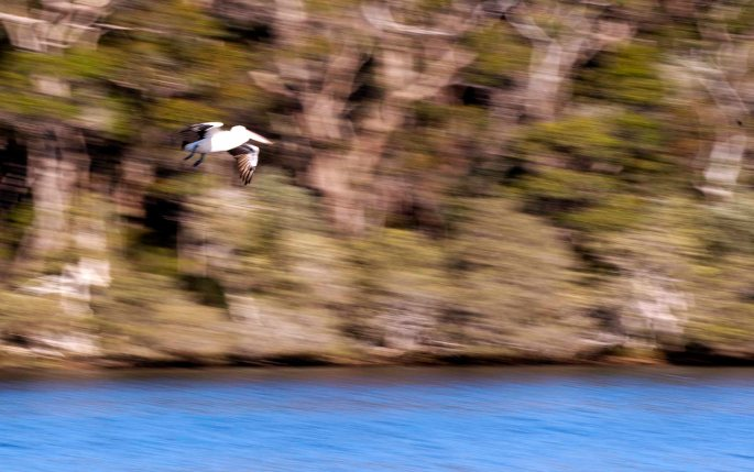 Pelican blur__